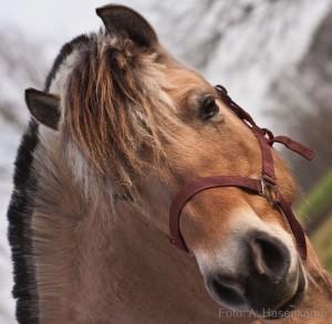 Braunes Pferd betrachtet den Fotografen